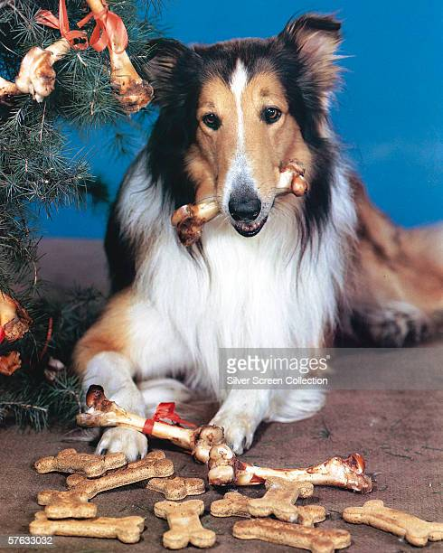 Canine movie star Lassie a rough collie enjoys a Christmas present of a pile of dog biscuits and juicy bones circa 1950
