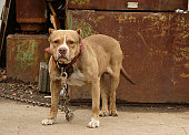 junkyard watch dog brown pit bull canine
