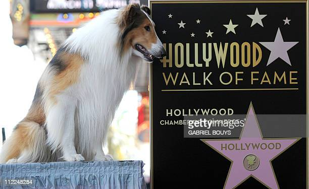 Canine star Lassie attends the ceremony for CBS news correspondent and New York Times besttimes selling author Bill Geist is honored by a Star on the...