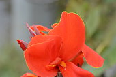 Flower background / Canna