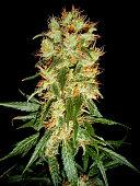 Cannabis Bud - Haze & Skunk