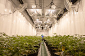 This image shows a farm growing cannabis for a medical marijuana supplier.