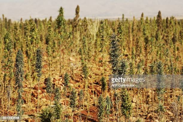 A cannabis field is seen near a vineyard on the outskirts of Deir alAhmar in the Beakaa Valley one of the poorest regions in Lebanon and notorious...