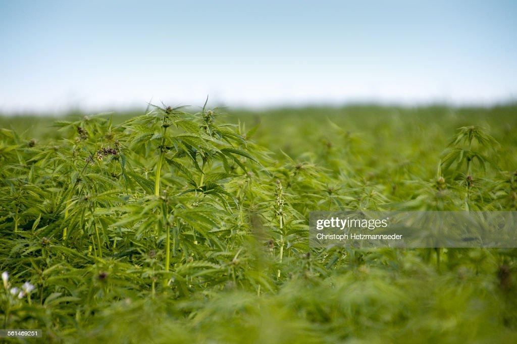 Cannabis field
