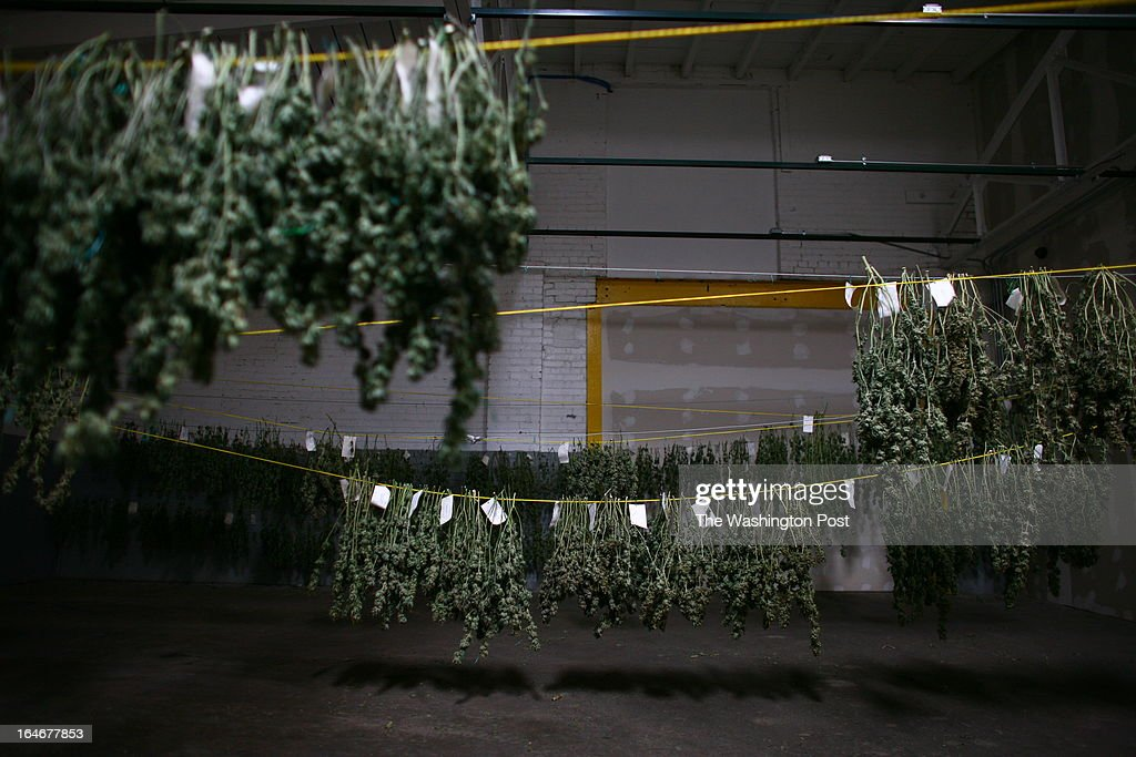 Cannabis hangs inside the 'cure room' inside a medical cannabis cultivation facility in Denver, Colorado, U.S., on Monday, March 4, 2013. This is inside a warehouse in Denver, and is one of the facilities that Kristi Kelly, Co-Founder of Good Meds Network, operates.