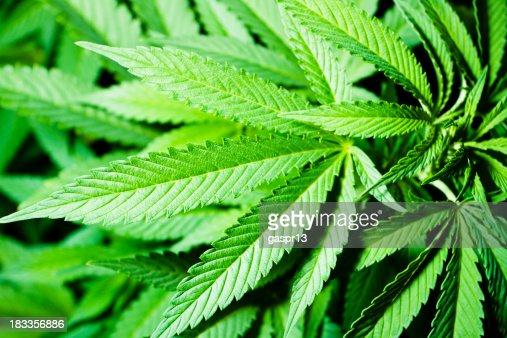cannabis indica foliage
