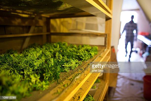 Cannabis is set to dry at the growing facility of the Tikun Olam company on March 7 2011 near the northern city of Safed Israel In conjunction with...