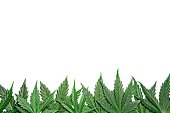 Green cannabis leafs border on white background with usable copy space on top