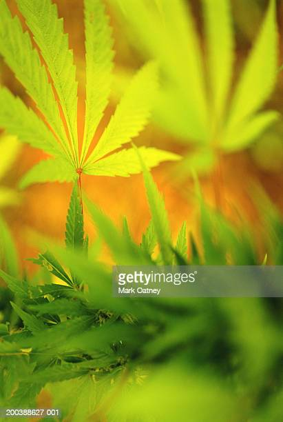 Cannabis leaves (Cannabis sativa) close-up