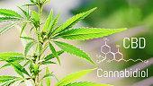 Cannabis of the formula CBD, Cbd oil. Hemp industrial plantation. Cannabis plant growing outdoors, lit by warm morning light. Cannabidiol medical marijuana concept