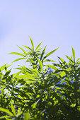 Cannabis plant and sky