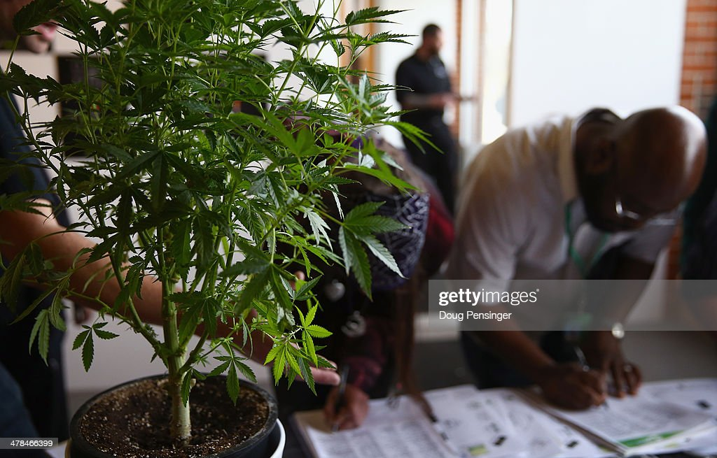 A cannabis plant greets job seekers as they sign in at CannaSearch Colorado's first cannabis job fair on March 13 2014 in Denver Colorado OPenVAPE...