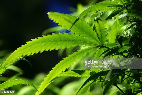 A cannabis plant grows in the Amsterdam Cannabis College a non profit charitable organisation that gives information on cannabis and hemp use on...