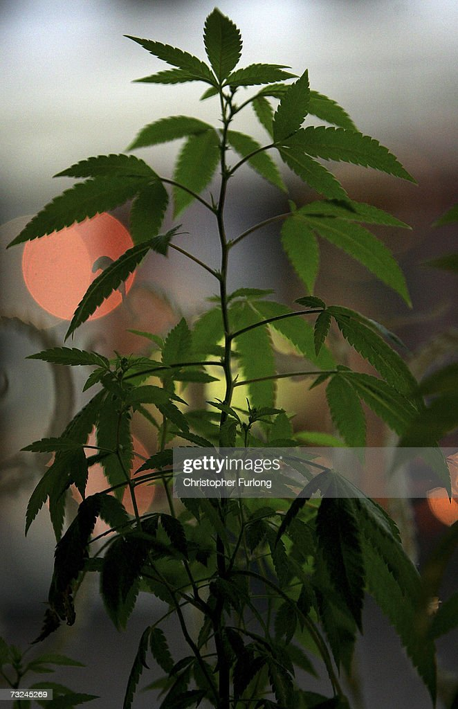 A cannabis plant grows in the window of an Amsterdam cafe on February 7, 2007 in Amsterdam, Netherlands. The city council in Amsterdam has recently voted in favour of introducing a citywide ban on smoking marijuana in public areas. A successful trial ban in the De Baarsjes district of Amsterdam has been declared a success after a reduction in anti social behaviour.