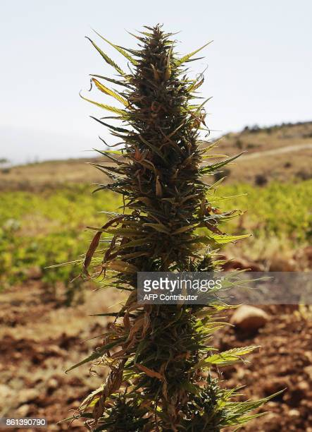 A cannabis plant is seen in a field near a vineyard on the outskirts of Deir alAhmar in the Beakaa Valley one of the poorest regions in Lebanon and...