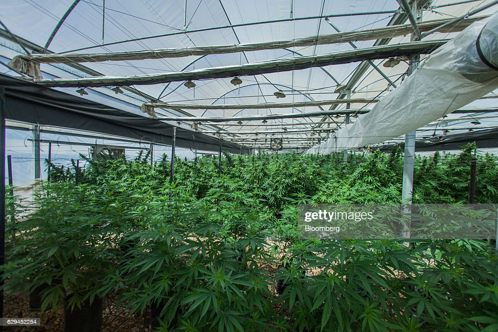 Cannabis plants grow in a greenhouse operated by Breath of Life (B.O.L.), in Kfar Pines, Israel, on Wednesday, Sept. 21, 2016. Breath of Life is one of eight licensed firms seeking to position Israel as a global hub for medical cannabis research. Photographer: Rina Castelnuovo/Bloomberg via Getty Images