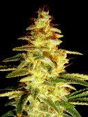 Cannabis Sativa / Indica