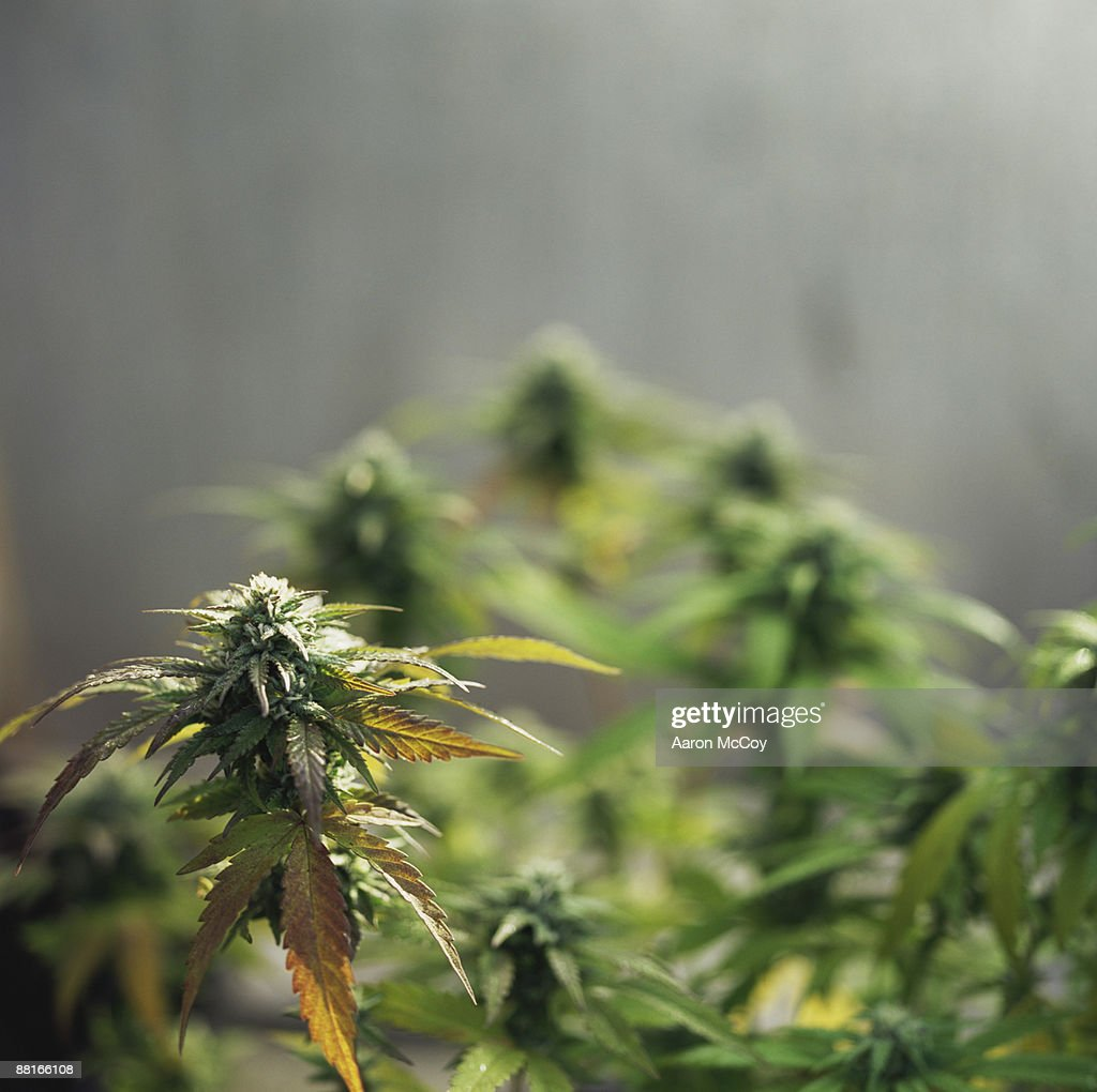 Cannabis sativa or marijuana plants