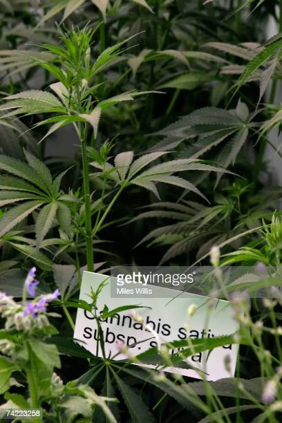 'Cannabis sativa' plants are displayed during the Chelsea Flower show held at the Royal Hospital Chelsea on May 22 2007 in London It is the first...