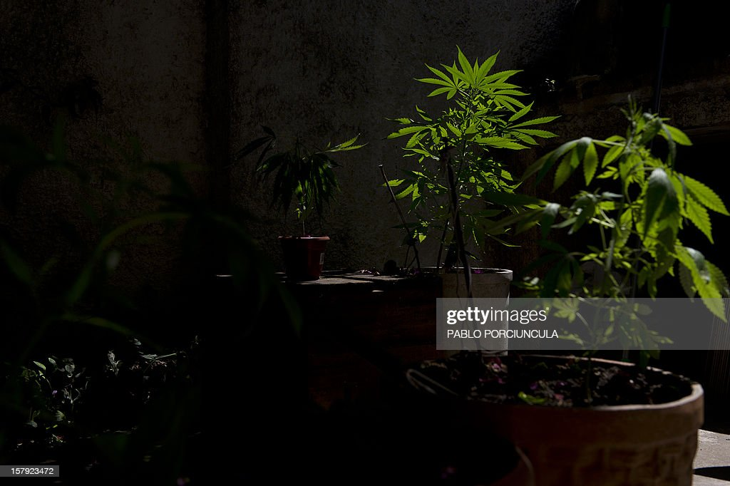 Cannabis sativa plants are seen in Montevideo on December 7, 2012. Lawmakers in Uruguay are studying a bill to legalize the cultivation of marijuana and allow limited personal consumption of it -- which if passed, will have authorities controlling its quality and the amount used. With the bill, which is supported by President Jose Mujica, the government wants to end drug-related violent crime which in recent years has emerged for the first time in this sleepy nation sandwiched between Argentina and Brazil. AFP PHOTO/Pablo PORCIUNCULA