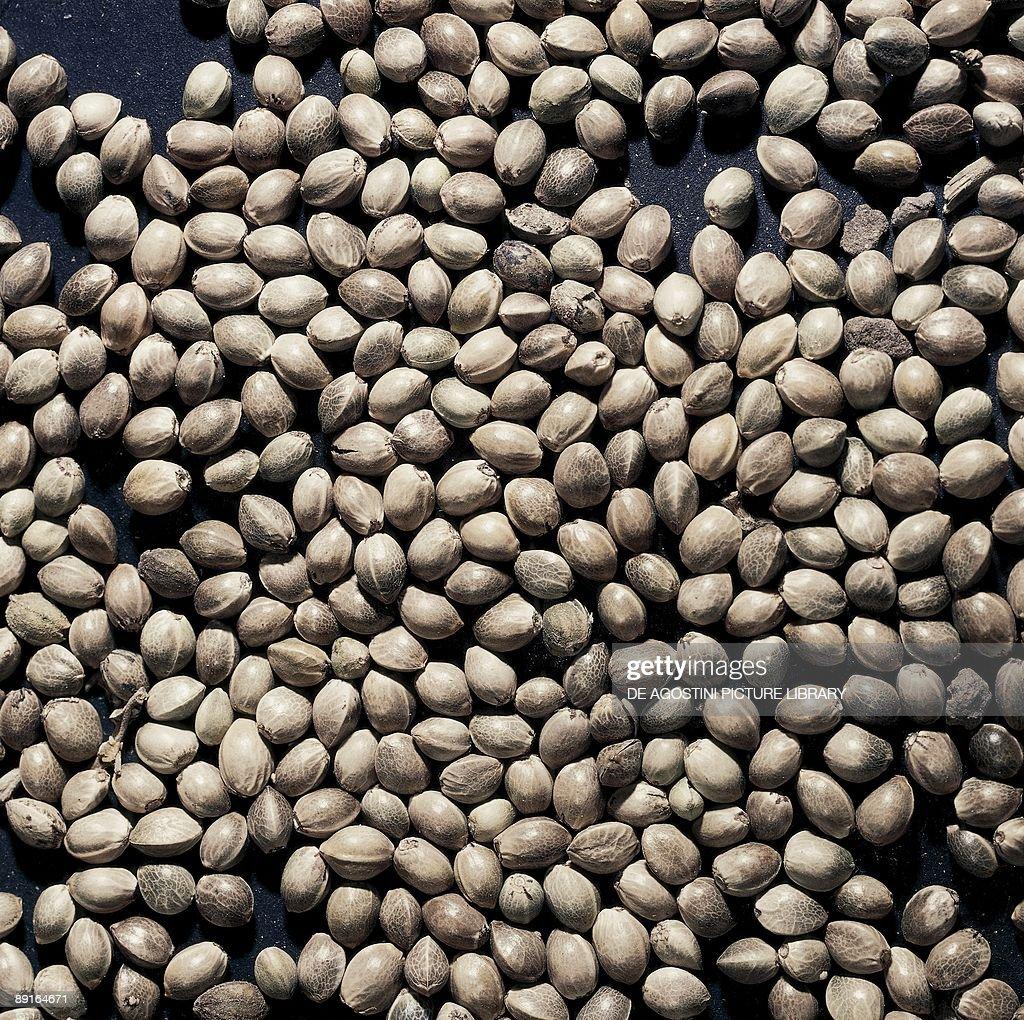 Cannabis sativa seeds