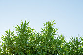 cannabis weed leaves against a blue sky, outdoor growing, farm in america