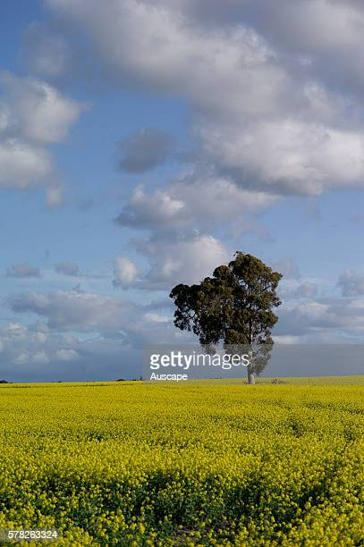 Canola Brassica napus crop with a remnant tree Kojonup South West region Western Australia Australia