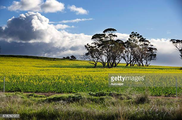 Canola Brassica sp fields in flower Canola is a cultivar of either Rapeseed Brassica napus Field mustard B campestris or B rapa var The seeds produce...