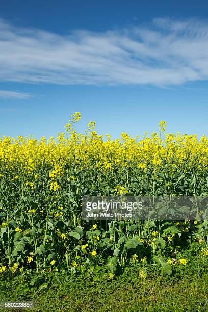 Canola crop. Australia