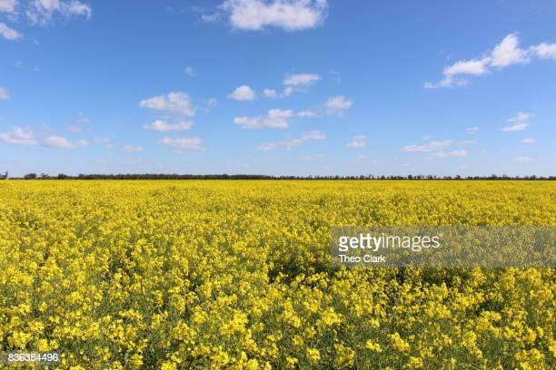 Canola crop