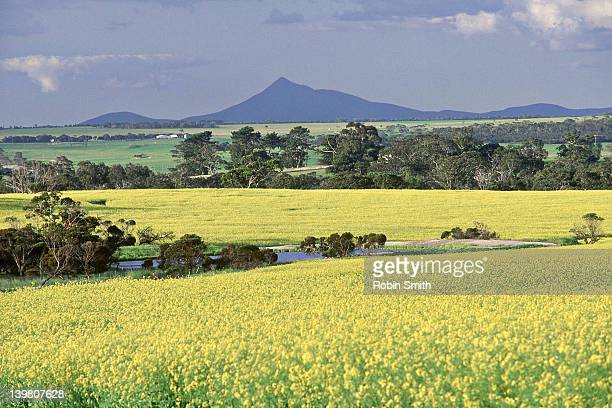 Canola crop with Stirling Range in background, Western  Australia