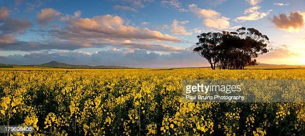 Canola Eucalyptus Panorama