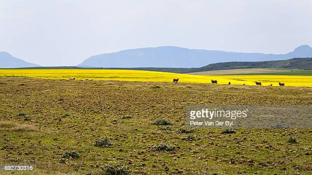 A canola farm with some sheep grazing in the field with distant mountains, Swellendam area, Western Cape Province, South Africa