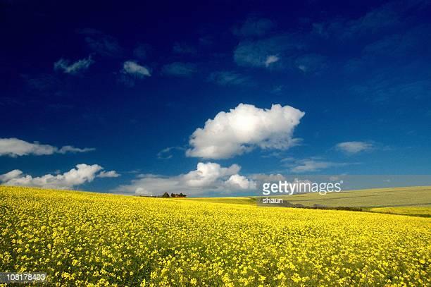Canola Feld gegen blauen Himmel mit Wolken