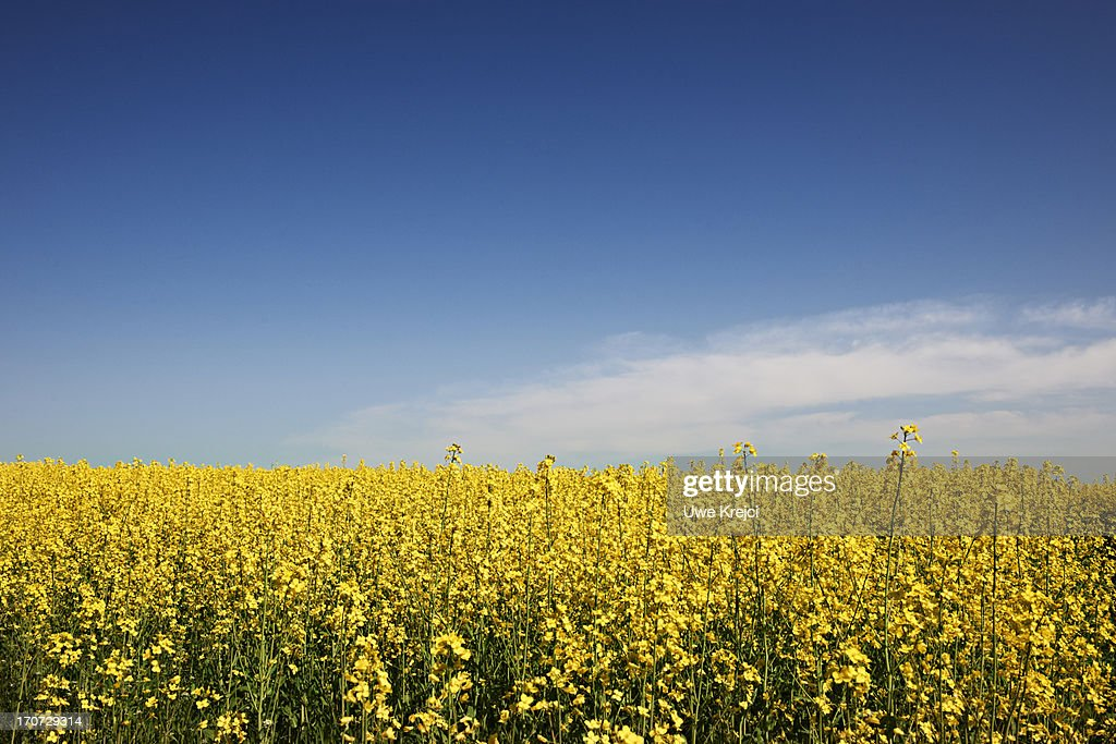 Canola field (bot. Brassica napus) and blue sky : Stock Photo