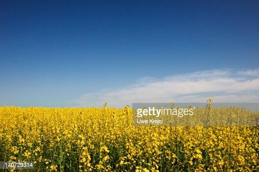 Canola field (bot. Brassica napus) and blue sky : Bildbanksbilder