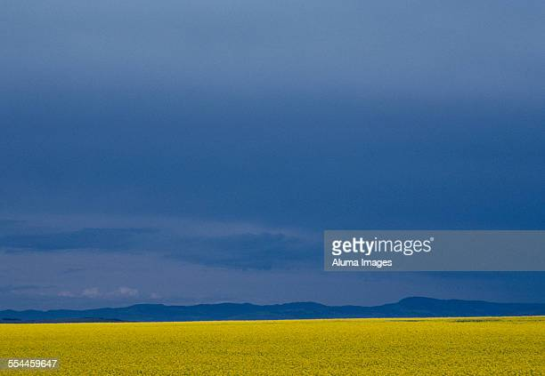 Canola field and distant mountains