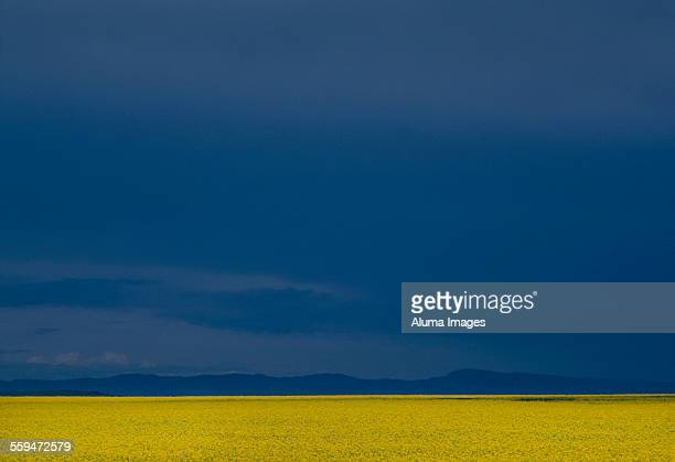 Canola field and Rockies