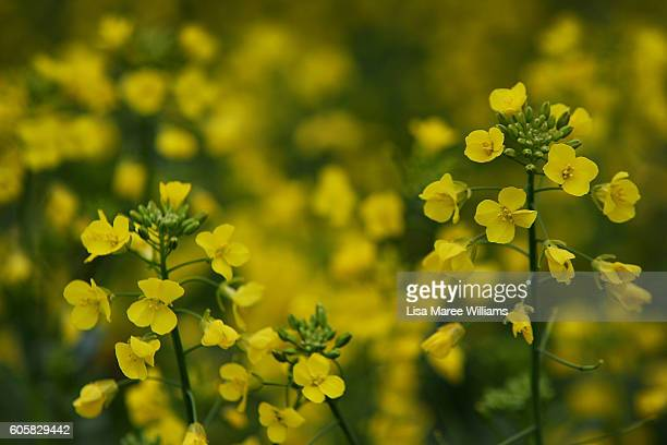 A canola field as seen along the MidWestern Highway on September 15 2016 in Cowra Australia A nearperfect growing season is predicted across southern...