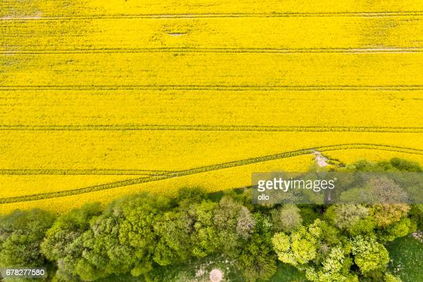 Canola field in spring - aerial view