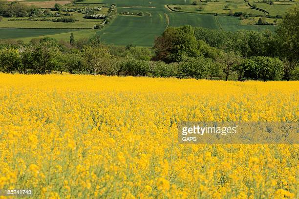 canola field on the hills of Burgundy