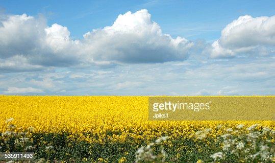 Canola field : Stock Photo
