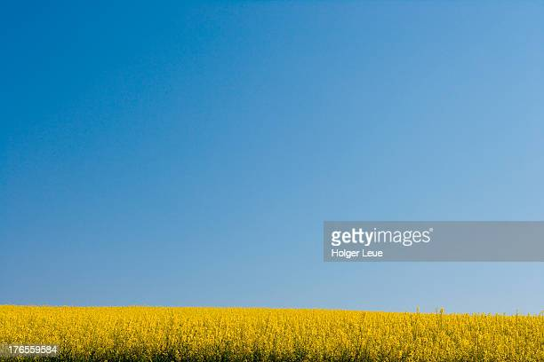 Canola field under blue sky