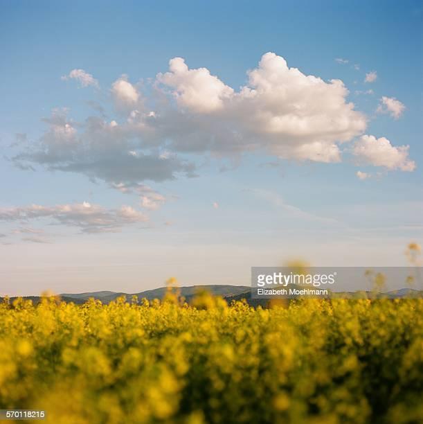 canola fields in full bloom