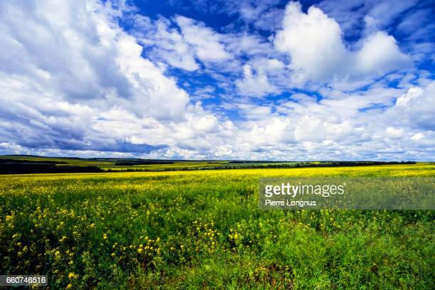 Canola Fields of Peace River Valley, approaching Dawson Creek, British Columbia, Canada