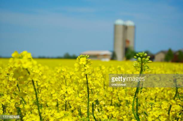 Canola fields with silos in the background