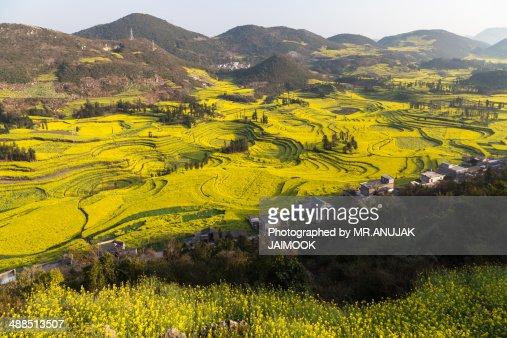 Canola flower fields of Louping, Yunnan, China