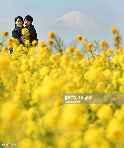 Canola flowers are in full bloom in a park in Yokosuka Kanagawa Prefecture south of Tokyo on Feb 4 with Mt Fuji visible in the background