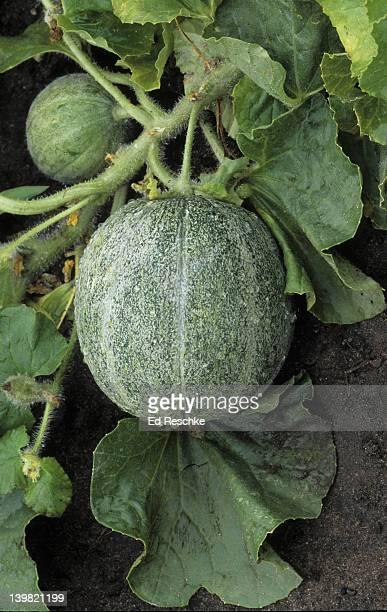 Cantaloupe, Cucumis melo. Warm-season annual, frost-tender. Also, called melon and muskmelon. Michigan
