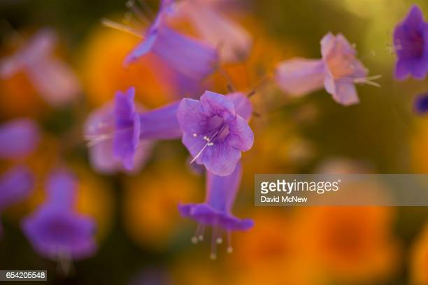 Canterbury bells bloom after prolonged record drought gave way to heavy winter rains causing one of the biggest wildflower blooms in years on March...